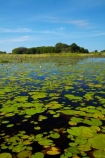 Africa;aquatic-plant;aquatic-plants;Botswana;delta;deltas;Endorheic-basin;inland-delta;internal-drainage-systems;lily-pad;lily-pads;Nymphaeaceae;Okavango;Okavango-Delta;Okavango-Swamp;plant;plants;river-delta;Seven-Natural-Wonders-of-Africa;Southern-Africa;water-lilies;water-lily;water-lily-pad;water-lily-pads;water_lilies;water_lily;waterlilies;waterlily;waterlily-pad;waterlily-pads