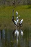 Africa;animal;animals;avian;bird;bird-spotting;bird-watching;bird_watching;birds;Botswana;Bubulcus-ibis;calm;Cattle-Egrets;delta;deltas;eco-tourism;eco_tourism;ecotourism;egret;egrets;Endorheic-basin;Fauna;inland-delta;internal-drainage-systems;Natural;Nature;Okavango;Okavango-Delta;Okavango-Swamp;Ornithology;placid;quiet;reflected;reflection;reflections;river-delta;serene;Seven-Natural-Wonders-of-Africa;smooth;Southern-Africa;still;tranquil;water;white;wild;wildlife