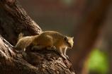 Africa;animal;animals;Botswana;mammal;mammals;Okavango-Delta;Southern-Africa;squirrel;squirrels;Tree-squirrel;Tree-squirrels;wildlife
