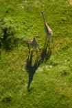 aerial;aerial-image;aerial-images;aerial-photo;aerial-photograph;aerial-photographs;aerial-photography;aerial-photos;aerial-view;aerial-views;aerials;Africa;Angolan-giraffe;animal;animals;Botswana;delta;deltas;Endorheic-basin;Giraffa-camelopardalis;Giraffa-camelopardalis-angolensis;giraffe;giraffes;inland-delta;internal-drainage-systems;mammal;mammals;Okavango;Okavango-Delta;Okavango-Swamp;river-delta;Seven-Natural-Wonders-of-Africa;Southern-Africa;wildlife