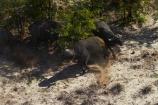 aerial;aerial-image;aerial-images;aerial-photo;aerial-photograph;aerial-photographs;aerial-photography;aerial-photos;aerial-view;aerial-views;aerials;Africa;African-buffalo;African-buffaloes;animal;animals;Botswana;buffalo;buffaloes;cape-buffalo;cape-buffaloes;delta;deltas;Endorheic-basin;inland-delta;internal-drainage-systems;mammal;mammals;Okavango;Okavango-Delta;Okavango-Swamp;river-delta;Seven-Natural-Wonders-of-Africa;Southern-Africa;Syncerus-caffer;Syncerus-caffer-caffer;wildlife