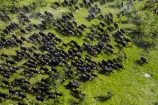 aerial;aerial-image;aerial-images;aerial-photo;aerial-photograph;aerial-photographs;aerial-photography;aerial-photos;aerial-view;aerial-views;aerials;Africa;African-buffalo;African-buffaloes;animal;animals;Botswana;buffalo;buffalo-herd;buffalo-herds;buffaloes;cape-buffalo;cape-buffaloes;crowd;crowds;delta;deltas;Endorheic-basin;herd;herds;inland-delta;internal-drainage-systems;mammal;mammals;many;Okavango;Okavango-Delta;Okavango-Swamp;river-delta;Seven-Natural-Wonders-of-Africa;Southern-Africa;stampede;stampedes;Syncerus-caffer;Syncerus-caffer-caffer;wildlife
