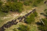 aerial;aerial-image;aerial-images;aerial-photo;aerial-photograph;aerial-photographs;aerial-photography;aerial-photos;aerial-view;aerial-views;aerials;Africa;African-buffalo;African-buffaloes;animal;animals;Botswana;buffalo;buffalo-herd;buffalo-herds;buffaloes;cape-buffalo;cape-buffaloes;delta;deltas;Endorheic-basin;herd;herds;inland-delta;internal-drainage-systems;mammal;mammals;Okavango;Okavango-Delta;Okavango-Swamp;river-delta;Seven-Natural-Wonders-of-Africa;Southern-Africa;stampede;stampedes;Syncerus-caffer;Syncerus-caffer-caffer;wildlife