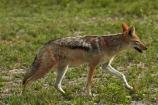 Africa;animal;animals;black-backed-jackal;black-backed-jackals;black_backed-jackal;black_backed-jackals;Botswana;Canidae;Canis-mesomelas;Carnivora;game-drive;game-viewing;jackal;jackals;mammal;mammals;Namibia;national-park;national-parks;natural;nature;Nxai-Pan-N.P.;Nxai-Pan-National-Park;Nxai-Pan-NP;predator;predators;red-jackal;reserve;reserves;scavenger;scavengers;silver_backed;Southern-Africa;wild;wilderness;wildlife