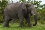 Africa;African-bush-elephant;African-bush-elephants;African-elephant;African-elephants;animal;animals;Botswana;elephant;elephants;ivory;Loxodonta-africana;mammal;mammals;Nata-_-Kasane-Road;pachyderm;pachyderms;Southern-Africa;tusk;tusks;wildlife