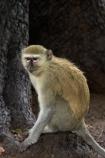 Africa;animal;animals;Botswana;Chlorocebus-pygerythrus;Chlorocebus-pygerythrus-pygerythus;Chobe-Safari-Lodge;Kasane;mammal;mammals;monkey;monkeys;primate;primates;Southern-Africa;Vervet;Vervet-monkey;Vervet-monkeys;Vervets;wildlife