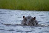 Africa;animal;animals;Botswana;Chobe-N.P.;Chobe-National-Park;Chobe-NP;Chobe-River;Chobe-River-boat-trip;Chobe-River-boat-trips;Chobe-River-cruise;Chobe-River-cruises;hippo;hippopotami;hippopotamus;Hippopotamus-amphibius;hippopotamuses;hippos;Kasane;mammal;mammals;national-park;national-parks;Southern-Africa;wildlife