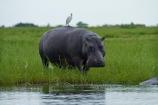 Africa;animal;animals;avian;bird;bird-spotting;bird-watching;bird_watching;birds;Botswana;Bubulcus-ibis;calm;Cattle-Egrets;Chobe-N.P.;Chobe-National-Park;Chobe-NP;Chobe-River;Chobe-River-boat-trip;Chobe-River-boat-trips;Chobe-River-cruise;Chobe-River-cruises;eco-tourism;eco_tourism;ecotourism;egret;egrets;Fauna;hippo;hippopotami;hippopotamus;Hippopotamus-amphibius;hippopotamuses;hippos;Kasane;mammal;mammals;national-park;national-parks;Natural;Nature;Ornithology;Southern-Africa;wild;wildlife