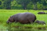 Africa;animal;animals;babies;baby;baby-hippo;baby-Hippopotami;baby-Hippopotamus;baby-Hippopotamuses;baby-hippos;Botswana;Chobe-N.P.;Chobe-National-Park;Chobe-NP;Chobe-River;Chobe-River-boat-trip;Chobe-River-boat-trips;Chobe-River-cruise;Chobe-River-cruises;hippo;hippopotami;hippopotamus;Hippopotamus-amphibius;hippopotamuses;hippos;Kasane;mammal;mammals;national-park;national-parks;Southern-Africa;wildlife
