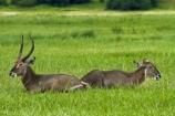 Africa;animal;animals;antelope;antelopes;Botswana;Chobe-N.P.;Chobe-National-Park;Chobe-NP;Chobe-River;Chobe-River-boat-trip;Chobe-River-boat-trips;Chobe-River-cruise;Chobe-River-cruises;common-waterbuck;common-waterbucks;ellipsen-waterbuck;ellipsen-waterbucks;female;Kasane;Kobus-ellipsiprymnus;Kobus-ellipsiprymnus-ellipsiprymnus;male;mammal;mammals;national-park;national-parks;Southern-Africa;water-buck;water-bucks;Waterbick;waterbuck;waterbucks;wildlife