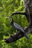 Africa;African-Darter;African-Darters;Anhinga-rufa;animal;animals;avian;bird;bird-spotting;bird-watching;bird_watching;birds;Botswana;Chobe-N.P.;Chobe-National-Park;Chobe-NP;Chobe-River;Chobe-River-boat-trip;Chobe-River-boat-trips;Chobe-River-cruise;Chobe-River-cruises;Darter;Darters;eco-tourism;eco_tourism;ecotourism;Fauna;Kasane;national-park;national-parks;Natural;Nature;Ornithology;Snakebird;Snakebirds;Southern-Africa;wild;wildlife