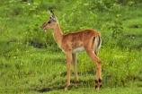 Aepyceros-melampus;Aepyceros-melampus-melampus;Africa;animal;animals;antelope;antelopes;babies;baby;baby-impala;baby-impalas;Botswana;Chobe-N.P.;Chobe-National-Park;Chobe-NP;Chobe-River;Chobe-River-boat-trip;Chobe-River-boat-trips;Chobe-River-cruise;Chobe-River-cruises;impala;impalas;Kasane;mammal;mammals;national-park;national-parks;Southern-Africa;wildlife;young-impala;young-impalas