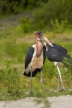 Africa;animal;animals;avian;bird;bird-spotting;bird-watching;bird_watching;birds;Botswana;Chobe-N.P.;Chobe-National-Park;Chobe-NP;Chobe-River;Chobe-River-boat-trip;Chobe-River-boat-trips;Chobe-River-cruise;Chobe-River-cruises;eco-tourism;eco_tourism;ecotourism;Fauna;Kasane;Leptoptilos-crumeniferus;Marabou;Marabou-Stork;Marabou-Storks;Marabous;national-park;national-parks;Natural;Nature;Ornithology;Southern-Africa;Stork;Storks;wild;wildlife