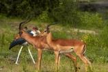 Aepyceros-melampus;Aepyceros-melampus-melampus;Africa;animal;animals;antelope;antelopes;avian;bird;bird-spotting;bird-watching;bird_watching;birds;Botswana;Chobe-N.P.;Chobe-National-Park;Chobe-NP;Chobe-River;Chobe-River-boat-trip;Chobe-River-boat-trips;Chobe-River-cruise;Chobe-River-cruises;eco-tourism;eco_tourism;ecotourism;Fauna;impala;impalas;Kasane;Leptoptilos-crumeniferus;male-impala;male-impalas;mammal;mammals;Marabou;Marabou-Stork;Marabou-Storks;Marabous;national-park;national-parks;Natural;Nature;Ornithology;Southern-Africa;Stork;Storks;wild;wildlife