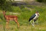 Aepyceros-melampus;Aepyceros-melampus-melampus;Africa;animal;animals;antelope;antelopes;avian;bird;bird-spotting;bird-watching;bird_watching;birds;Botswana;Chobe-N.P.;Chobe-National-Park;Chobe-NP;Chobe-River;Chobe-River-boat-trip;Chobe-River-boat-trips;Chobe-River-cruise;Chobe-River-cruises;eco-tourism;eco_tourism;ecotourism;Fauna;impala;impalas;Kasane;Leptoptilos-crumeniferus;male-impala;male-impalas;mammal;mammals;Marabou;Marabou-Stork;Marabou-Storks;Marabous;national-park;national-parks;Natural;Nature;Ornithology;size-comparison;Southern-Africa;Stork;Storks;wild;wildlife