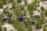 aerial;aerial-image;aerial-images;aerial-photo;aerial-photograph;aerial-photographs;aerial-photography;aerial-photos;aerial-view;aerial-views;aerials;Africa;African;African-bush-elephant;African-bush-elephants;African-elephant;African-elephants;animal;animals;Botswana;delta;deltas;elephant;elephant-herd;elephants;Endorheic-basin;herd;herd-of-elephant;herds;inland-delta;internal-drainage-systems;Loxodonta-africana;mammal;mammals;Okavango;Okavango-Delta;Okavango-Swamp;pachyderm;pachyderms;river-delta;safari;safaris;Seven-Natural-Wonders-of-Africa;Southern-Africa;wildlife