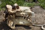 Africa;African;bone;bones;Botswana;hippo;hippo-skull;hippopotami;hippopotamus;Hippopotamus-amphibius;hippopotamuses;hippos;Okavango;Okavango-Delta;Okavango-Swamp;safari;safaris;skeleton;skeletons;skull;skulls;Southern-Africa;teeth;tooth;tusk;tusks