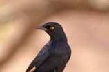Africa;African;Animal;animals;avian;bird;bird-spotting;bird-watching;bird_watching;birds;Botswana;eco-tourism;eco_tourism;ecotourism;Fauna;game-park;game-parks;Game-Reserve;game-reserves;Moremi;Moremi-Game-Reserve;Moremi-Reserve;national-park;national-parks;Natural;Nature;Onychognathus-nabouroup;Ornithology;pale-winged-starling;pale-winged-starlings;pale_winged-starling;pale_winged-starlings;palewinged-starling;palewinged-starlings;park;parks;reserve;reserves;safari;safaris;Southern-Africa;starling;starlings;widlife-parks;wild;wildlife;wildlife-park