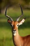 Aepyceros-melampus;Aepyceros-melampus-melampus;Africa;African;African-animals;African-wildlife;animal;animals;antelope;antelopes;Botswana;game-drive;game-park;game-parks;Game-Reserve;game-reserves;game-viewing;horns;impala;impalas;make;male;male-impala;male-impalas;males;mammal;mammals;Moremi;Moremi-Game-Reserve;Moremi-Reserve;national-park;national-parks;natural;nature;park;parks;reserve;reserves;safari;safaris;Southern-Africa;widlife-parks;wild;wilderness;wildlife;wildlife-park;wildlife-parks;wildlife-reserve;wildlife-reserves