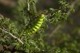 Africa;African;Botswana;caterpillar;caterpillars;Ghanzi;green;green-caterpillar;Heniocha-dyops;Marbled-Emperor-Caterpillar;Southern-Africa