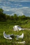 Africa;African;African-elephant;African-elephants;animal;animals;black-clouds;bone;bones;Botswana;Chobe-N.P.;Chobe-National-Park;Chobe-NP;cloud-clouds;dark-clouds;elephant;elephants;gray-clouds;grey-clouds;Loxodonta-africana;mammal;mammals;national-park;national-parks;natural;nature;pachyderm;pachyderms;poaching;reserve;reserves;safari;safaris;Savute;Savuti;Savuti-Region;skeleton;skeletons;skull;skulls;Southern-Africa;wild;wilderness;wildlife;wildlife-park;wildlife-parks;wildlife-reserve;wildlife-reserves
