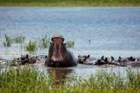 Africa;African;agression;agressive;animal;animals;Botswana;game-park;game-parks;Game-Reserve;game-reserves;hippo;hippopotami;hippopotamus;Hippopotamus-amphibius;hippopotamuses;hippos;mammal;mammals;Moremi;Moremi-Game-Reserve;Moremi-Reserve;national-park;national-parks;park;parks;reserve;reserves;safari;safaris;Southern-Africa;widlife-parks;Wildlife;wildlife-park;yawn;yawning