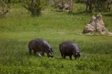 Africa;African;animal;animals;Botswana;game-park;game-parks;Game-Reserve;game-reserves;hippo;hippopotami;hippopotamus;Hippopotamus-amphibius;hippopotamuses;hippos;mammal;mammals;Moremi;Moremi-Game-Reserve;Moremi-Reserve;national-park;national-parks;park;parks;reserve;reserves;safari;safaris;Southern-Africa;widlife-parks;Wildlife;wildlife-park