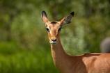 Aepyceros-melampus;Aepyceros-melampus-melampus;Africa;African;African-animals;African-wildlife;animal;animals;antelope;antelopes;Botswana;female;game-drive;game-park;game-parks;Game-Reserve;game-reserves;game-viewing;impala;impalas;male;male-impala;male-impalas;males;mammal;mammals;Moremi;Moremi-Game-Reserve;Moremi-Reserve;national-park;national-parks;natural;nature;park;parks;reserve;reserves;safari;safaris;Southern-Africa;widlife-parks;wild;wilderness;wildlife;wildlife-park;wildlife-parks;wildlife-reserve;wildlife-reserves