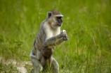 Africa;African;African-animals;African-wildlife;animal;animals;Botswana;Chlorocebus-pygerythrus;Chlorocebus-pygerythrus-pygerythus;game-drive;game-park;game-parks;game-reserve;game-reserves;game-viewing;mammal;mammals;monkey;monkeys;Moremi;Moremi-Game-Reserve;Moremi-Reserve;national-park;national-parks;natural;nature;park;parks;primate;primates;reserve;reserves;safari;safaris;Southern-Africa;Vervet;Vervet-monkey;Vervet-monkeys;Vervets;widlife-parks;wild;wilderness;wildlife;wildlife-park;wildlife-parks;wildlife-reserve;wildlife-reserves