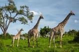Africa;African;African-plain;African-plains;Angolan-giraffe;animal;animals;babies;baby;baby-giraffe;Botswana;Chobe-N.P.;Chobe-National-Park;Chobe-NP;game-drive;game-viewing;Giraffa-camelopardalis;Giraffa-camelopardalis-angolensis;giraffe;giraffes;herd;herds;impala;impalas;mammal;mammals;national-park;national-parks;natural;nature;plain;plains;reserve;reserves;safari;safaris;Southern-Africa;tall;wild;wilderness;wildlife;wildlife-park;wildlife-parks;wildlife-reserve;wildlife-reserves;young;zebra;zebras
