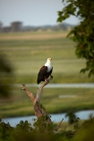 Africa;African;African-fish-eagle;African-fish-eagles;Animal;animals;avian;bird;bird-of-prey;bird-spotting;bird-watching;bird_of_prey;bird_watching;birds;birds-of-prey;birds_of_prey;Botswana;Chobe-N.P.;Chobe-National-Park;Chobe-NP;Chobe-River;Chobe-River-Front;Chobe-River-Front-Region;Chobe-River-Region;Chobe-waterfront;eagle;eagles;eco-tourism;eco_tourism;ecotourism;Fauna;fish-eagle;fish-eagles;flight;fly;flying;Haliaeetus-vocifer;Kasane;N.T.;national-park;national-parks;Natural;Nature;Ornithology;raptor;raptors;reserve;reserves;safari;safaris;Southern-Africa;wild;wilderness;wildlife;wildlife-park;wildlife-parks;wildlife-reserve;wildlife-reserves;Wing