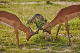 Aepyceros-melampus;Aepyceros-melampus-melampus;Africa;African;African-animals;African-wildlife;animal;animals;antelope;antelopes;Botswana;Chobe-N.P.;Chobe-National-Park;Chobe-NP;fight;fighting;game-drive;game-park;game-parks;Game-Reserve;game-reserves;game-viewing;horns;impala;impalas;make;male;male-impala;male-impalas;males;mammal;mammals;national-park;national-parks;natural;nature;park;parks;play-fight;play-fighting;reserve;reserves;safari;safaris;Southern-Africa;widlife-parks;wild;wilderness;wildlife;wildlife-park;wildlife-parks;wildlife-reserve;wildlife-reserves