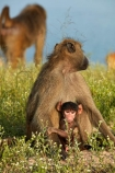Africa;African;African-animals;African-wildlife;animal;animals;babies;baboon;baboons;baby;Botswana;Cape-baboon;Cape-baboons;Chacma-baboon;Chacma-baboons;Chobe-N.P.;Chobe-National-Park;Chobe-NP;game-drive;game-park;game-parks;game-reserve;game-reserves;game-viewing;Gray_footed-chacma-baboon;infant;infants;juvenile;juveniles;Kasane;mammal;mammals;monkey;monkeys;national-park;national-parks;natural;nature;Papio-ursinus;Papio-ursinus-griseipes;primate;primates;Republic-of-South-Africa;reserve;reserves;safari;safaris;South-Africa;South-African-Republic;Southern-Africa;wild;wilderness;wildlife;wildlife-park;wildlife-parks;wildlife-reserve;wildlife-reserves;young