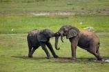 Africa;African;African-elephant;African-elephants;animal;animals;Botswana;Chobe-N.P.;Chobe-National-Park;Chobe-NP;Chobe-River;Chobe-River-Front;Chobe-River-Front-Region;Chobe-River-Region;Chobe-waterfront;elephant;elephants;fighting;Kasane;Loxodonta-africana;mammal;mammals;mud;national-park;national-parks;natural;nature;pachyderm;pachyderms;play-fighting;reserve;reserves;safari;safaris;Southern-Africa;wild;wilderness;wildlife;wildlife-park;wildlife-parks;wildlife-reserve;wildlife-reserves