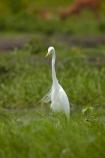 Africa;African;Animal;animals;Ardea-alba;avian;bird;bird-spotting;bird-watching;bird_watching;birds;Botswana;Chobe-N.P.;Chobe-National-Park;Chobe-NP;common-egret;common-egrets;eco-tourism;eco_tourism;ecotourism;egret;egrets;Fauna;game-park;game-parks;Game-Reserve;game-reserves;great-egret;great-egrets;great-white-egret;great-white-egrets;great-white-heron;great-white-herons;heron;herons;Kasane;large-egret;large-egrets;national-park;national-parks;Natural;Nature;Ornithology;park;parks;reserve;reserves;safari;safaris;Southern-Africa;widlife-parks;wild;wilderness;wildlife;wildlife-park;wildlife-parks;wildlife-reserve;wildlife-reserves
