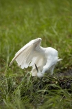 Africa;African;Animal;animals;avian;bird;bird-spotting;bird-watching;bird_watching;birds;Botswana;Chobe-N.P.;Chobe-National-Park;Chobe-NP;eco-tourism;eco_tourism;ecotourism;Egret;Egrets;Egretta-garzetta;Fauna;heron;herons;Kasane;Little-Egret;Little-Egrets;national-park;national-parks;Natural;Nature;Ornithology;reserve;reserves;safari;safaris;Southern-Africa;wild;wilderness;wildlife;wildlife-park;wildlife-parks;wildlife-reserve;wildlife-reserves