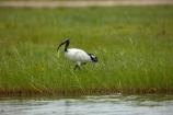Afrcan-Sacred-Ibises;Africa;Africa-Sacred-Ibis;African;African-Sacred-Ibis;Animal;animals;avian;bird;bird-spotting;bird-watching;bird_watching;birds;Botswana;Chobe-N.P.;Chobe-National-Park;Chobe-NP;Chobe-River;Chobe-River-Front;Chobe-River-Front-Region;Chobe-River-Region;Chobe-waterfront;eco-tourism;eco_tourism;ecotourism;Fauna;game-park;game-parks;Game-Reserve;game-reserves;Ibis;ibises;Kasane;national-park;national-parks;natural;Nature;Ornithology;park;parks;reserve;reserves;Sacred-Ibis;Sacred-Ibises;safari;safaris;Southern-Africa;Threskiornis-aethiopicus;widlife-parks;wild;wilderness;wildlife;wildlife-park;wildlife-parks;wildlife-reserve;wildlife-reserves