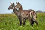 Africa;African;animal;animals;antelope;antelopes;Botswana;Chobe-N.P.;Chobe-National-Park;Chobe-NP;Chobe-River;Chobe-River-boat-trip;Chobe-River-boat-trips;Chobe-River-cruise;Chobe-River-cruises;common-waterbuck;common-waterbucks;ellipsen-waterbuck;ellipsen-waterbucks;female;Kasane;Kobus-ellipsiprymnus;Kobus-ellipsiprymnus-ellipsiprymnus;male;mammal;mammals;national-park;national-parks;natural;nature;reserve;reserves;safari;safaris;Southern-Africa;water-buck;water-bucks;Waterbick;waterbuck;waterbucks;wild;wilderness;wildlife;wildlife-park;wildlife-parks;wildlife-reserve;wildlife-reserves
