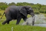 Africa;African;African-elephant;African-elephants;animal;animals;Botswana;Chobe-N.P.;Chobe-National-Park;Chobe-NP;Chobe-River;Chobe-River-Front;Chobe-River-Front-Region;Chobe-River-Region;Chobe-waterfront;elephant;elephants;Kasane;Loxodonta-africana;mammal;mammals;national-park;national-parks;natural;nature;pachyderm;pachyderms;reserve;reserves;safari;safaris;Southern-Africa;splash;splashing;water;wild;wilderness;wildlife;wildlife-park;wildlife-parks;wildlife-reserve;wildlife-reserves