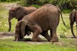 Africa;African-elephant;African-elephants;animal;animals;Botswana;Chobe-N.P.;Chobe-National-Park;Chobe-NP;Chobe-River;Chobe-River-Front;Chobe-River-Front-Region;Chobe-River-Region;Chobe-waterfront;digging;elephant;elephants;Kasane;kneel;kneeling;Loxodonta-africana;mammal;mammals;national-park;national-parks;natural;nature;pachyderm;pachyderms;reserve;reserves;safari;safaris;Southern-Africa;tusk;wild;wilderness;wildlife;wildlife-park;wildlife-parks;wildlife-reserve;wildlife-reserves