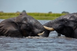Africa;African;African-elephant;African-elephants;agression;agressive;animal;animals;Botswana;Chobe-N.P.;Chobe-National-Park;Chobe-NP;Chobe-River;Chobe-River-Front;Chobe-River-Front-Region;Chobe-River-Region;Chobe-waterfront;elephant;elephants;fight;fighting;Kasane;Loxodonta-africana;mammal;mammals;national-park;national-parks;natural;nature;pachyderm;pachyderms;reserve;reserves;river;rivers;safari;safaris;Southern-Africa;tusk;tusks;water;wild;wilderness;wildlife;wildlife-park;wildlife-parks;wildlife-reserve;wildlife-reserves