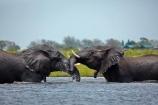 Africa;African-elephant;African-elephants;agression;agressive;animal;animals;Botswana;Chobe-N.P.;Chobe-National-Park;Chobe-NP;Chobe-River;Chobe-River-Front;Chobe-River-Front-Region;Chobe-River-Region;Chobe-waterfront;elephant;elephants;fight;fighting;Kasane;Loxodonta-africana;mammal;mammals;national-park;national-parks;natural;nature;pachyderm;pachyderms;reserve;reserves;river;rivers;safari;safaris;Southern-Africa;tusk;tusks;water;wild;wilderness;wildlife;wildlife-park;wildlife-parks;wildlife-reserve;wildlife-reserves