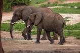 Africa;African-elephant;African-elephants;animal;animals;Botswana;elephant;Elephants;Kasane;Loxodonta-africana;mammal;mammals;national-park;national-parks;natural;nature;pachyderm;pachyderms;reserve;reserves;safari;safaris;Senyati;Senyati-Safari-Camp;Southern-Africa;waterhole;wild;wilderness;wildlife;wildlife-park;wildlife-parks;wildlife-reserve;wildlife-reserves