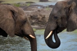Africa;African-elephant;African-elephants;animal;animals;Botswana;elephant;Elephants;Kasane;Loxodonta-africana;mammal;mammals;national-park;national-parks;natural;nature;pachyderm;pachyderms;reserve;reserves;safari;safaris;Senyati;Senyati-Safari-Camp;Southern-Africa;water;waterhole;waterholes;wild;wilderness;wildlife;wildlife-park;wildlife-parks;wildlife-reserve;wildlife-reserves