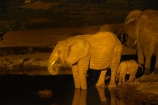 Africa;African-elephant;African-elephants;animal;animals;baby;baby-elephant;Botswana;dark;drink;drinking;elephant;elephants;evening;floodlighting;floodlit;Kasane;Loxodonta-africana;mammal;mammals;national-park;national-parks;natural;nature;night;night-time;pachyderm;pachyderms;reserve;reserves;safari;safaris;Senyati;Senyati-Safari-Camp;Southern-Africa;water;waterhole;waterholes;wild;wilderness;wildlife;wildlife-park;wildlife-parks;wildlife-reserve;wildlife-reserves