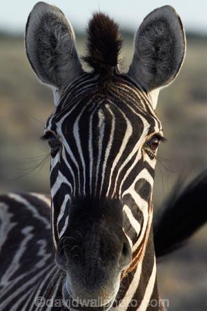 Africa;animal;animals;Burchells-zebra;Equus-quagga;Equus-quagga-burchellii;Etosha-N.P.;Etosha-National-Park;Etosha-NP;game-park;game-parks;game-reserve;game-reserves;mammal;mammals;Namibia;national-park;national-parks;Plains-zebra;Southern-Africa;Steppenzebra;wildlife;wildlife-park;wildlife-parks;wildlife-reserve;wildlife-reserves;Zebra;zerbras