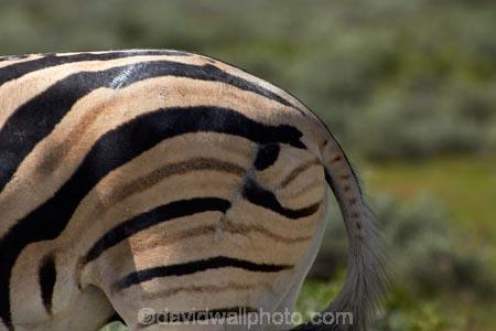 Africa;animal;animals;Burchells-zebra;Equus-quagga;Equus-quagga-burchellii;Etosha-N.P.;Etosha-National-Park;Etosha-NP;game-park;game-parks;game-reserve;game-reserves;injuries;injury;mammal;mammals;mismatched-stripes;Namibia;national-park;national-parks;Plains-zebra;scar;scarred;Southern-Africa;Steppenzebra;unjured;wildlife;wildlife-park;wildlife-parks;wildlife-reserve;wildlife-reserves;wound;wounds;Zebra;zerbras