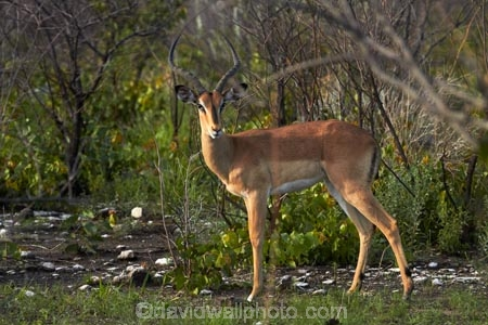 Aepyceros-melampus;Aepyceros-melampus-petersi;Africa;animal;animals;antelope;antelopes;black-faced-impala;black-faced-impalas;black_faced-impala;black_faced-impalas;blackfaced-impala;blackfaced-impalas;Etosha-N.P.;Etosha-National-Park;Etosha-NP;game-park;game-parks;game-reserve;game-reserves;game-viewing;impala;impalas;male;males;mammal;mammals;Namibia;national-park;national-parks;Southern-Africa;wildlife;wildlife-park;wildlife-parks;wildlife-reserve;wildlife-reserves