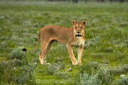 Africa;animal;animals;carnivore;carnivores;cat;cats;Etosha-N.P.;Etosha-National-Park;Etosha-NP;feline;game-park;game-parks;game-reserve;game-reserves;hunter;hunters;lion;Lioness;lionesses;lions;mammal;mammals;Namibia;national-park;national-parks;Panthera-leo;predator;predators;Southern-Africa;wildlife;wildlife-park;wildlife-parks;wildlife-reserve;wildlife-reserves