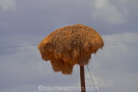 707-road;africa;african;animal;big-large;bird-birds;bird-nest;bird-nests;birds-nest;birds-nests;colonies;colony;communities;community;D707-road;flock;giant-nest;group;home;huge;huge-nest;line;lines;nambia;Namib-Desert;Namibia;namibian;nest;nests;Philetairus-socius;pole;poles;post;posts;power-line;power-lines;power-pole;power-poles;sociable;Sociable-Weaver;Sociable-Weaver-Nest;Sociable-Weavers;Sociable-Weavers-Nest;social;Social-Weaver;social-weaver-nest;Social-Weavers;Social-Weavers-Nest;Southern-Africa;telegraph-line;telegraph-lines;telegraph-pole;telegraph-poles;tree;trees;weaver;weavers;wildlife;wire;wires
